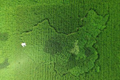 上海の田んぼに中国地図を描く農家の男性