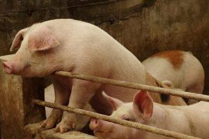 遼寧省の養豚場
