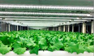 西友、店内にレタス栽培の植物工場、毎日収獲して野菜売り場で販売