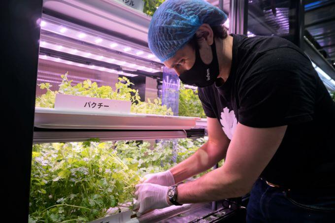 店頭で担当者が収穫するシーン。多くの来店客の興味を引いていた。そうした効果もあって欧州では収穫日に購入者が増える効果も出ている