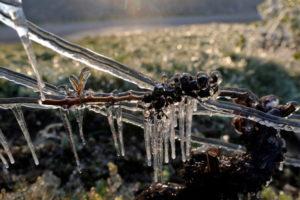 フランス・シャブリ郊外のブドウ畑で、霜害から守るため水が噴霧された現場
