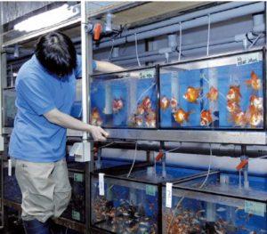 神畑養魚東京支店、姫路支店などの水槽は世界最大級