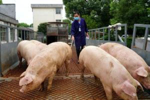 養豚を扱う中国の業者