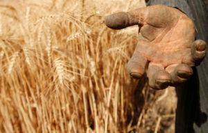 エジプトの麦畑